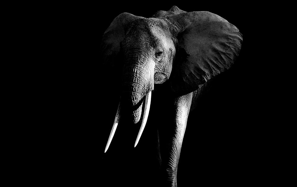 Elephant flipped 1000x628 (shutterstock)